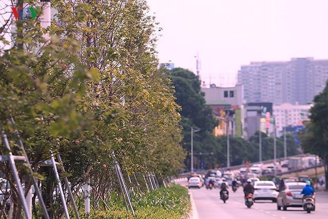 Những hàng cây Phong trên đường phố Hà Nội ngả màu khi Thu sang - Ảnh 6.