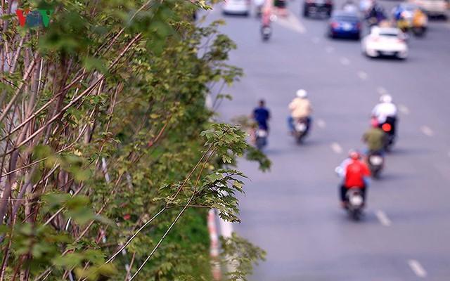 Những hàng cây Phong trên đường phố Hà Nội ngả màu khi Thu sang - Ảnh 7.