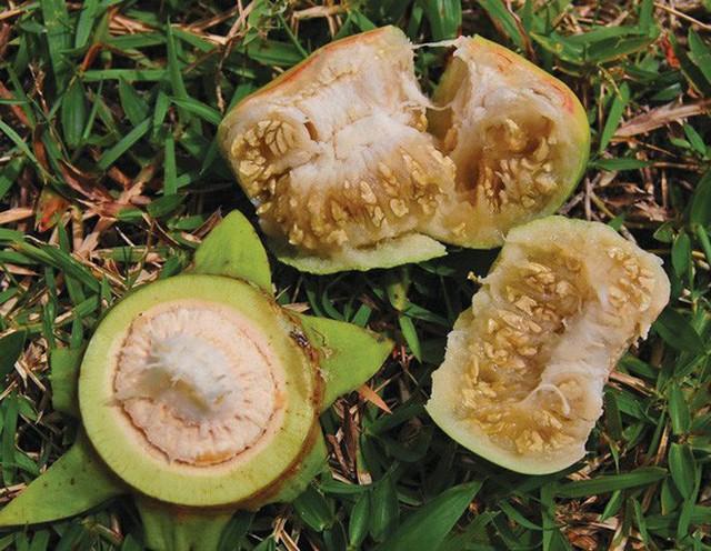 Cứ ngỡ là loại quả nhà nghèo ở miền Tây nhưng đây lại là đặc sản được xuất khẩu đi nhiều nơi - Ảnh 6.