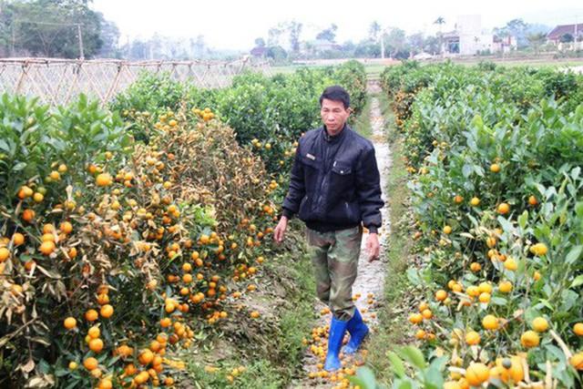 Vườn quất ở xã Hợp Tiến, huyện Triệu Sơn bị kẻ gian phun thuốc diệt cỏ hãm hại