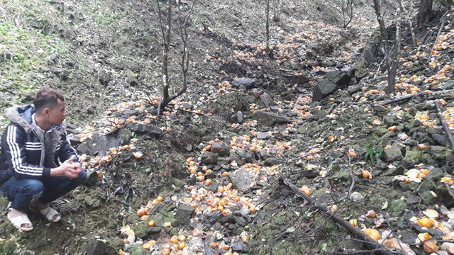 Vùng quýt Bắc Kạn thiệt hại chục tỷ do quả rụng, nhiều hộ dân trắng tay - Ảnh 1.