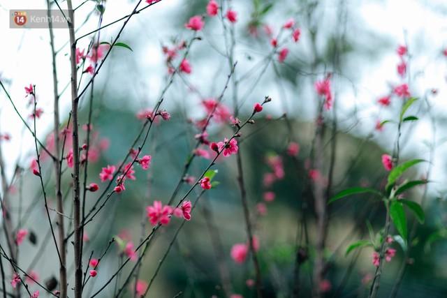 Chùm ảnh: Hoa đào đã nở đỏ rực trên những tuyến phố Hà Nội, Tết đã đến rất gần rồi! - Ảnh 24.