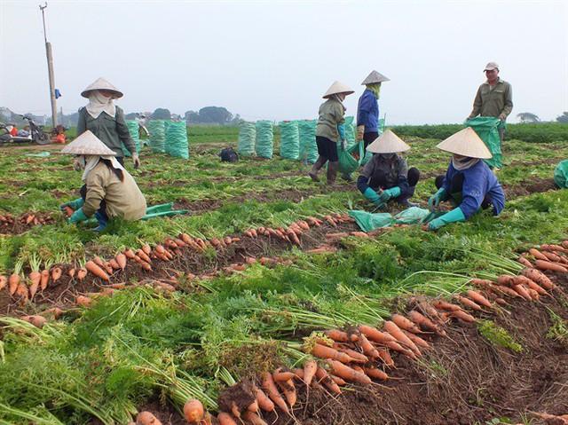Hàng ngàn ha cà rốt vẫn phơi đồng, vắng tanh thương lái thu mua - Ảnh 1.