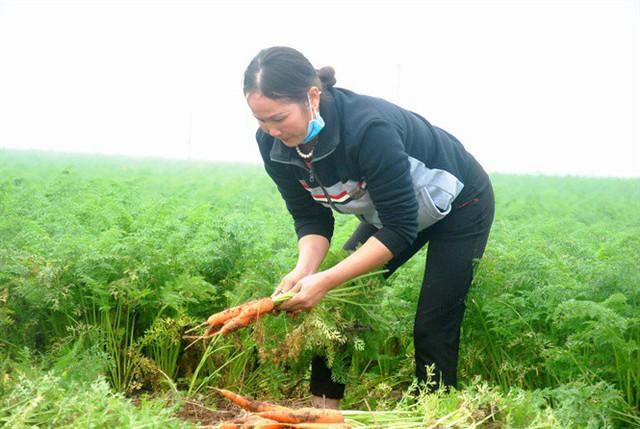 Hàng ngàn ha cà rốt vẫn phơi đồng, vắng tanh thương lái thu mua - Ảnh 2.