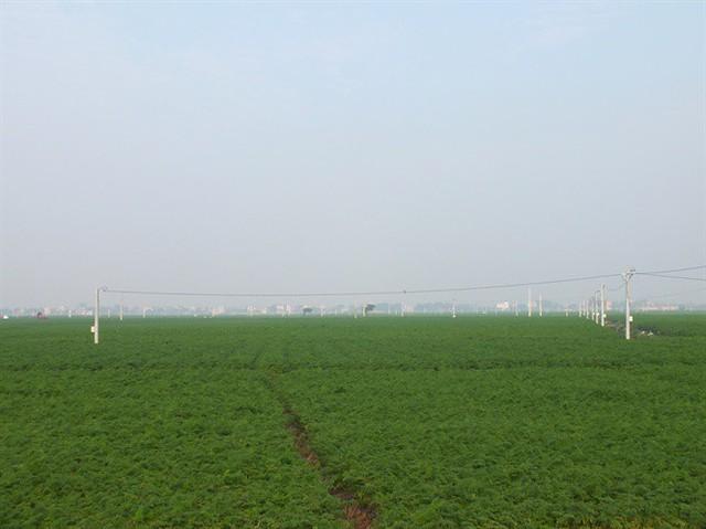 Hàng ngàn ha cà rốt vẫn phơi đồng, vắng tanh thương lái thu mua - Ảnh 3.
