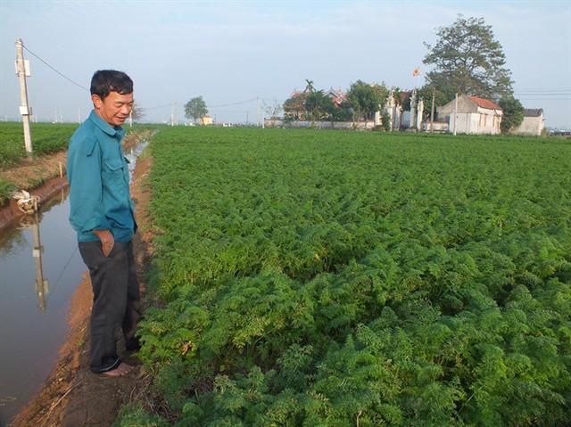 Hàng ngàn ha cà rốt vẫn phơi đồng, vắng tanh thương lái thu mua - Ảnh 4.