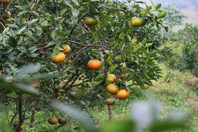 Những rừng cam thu tiền tỷ mỗi dịp Tết ở Hà Tĩnh - Ảnh 2.