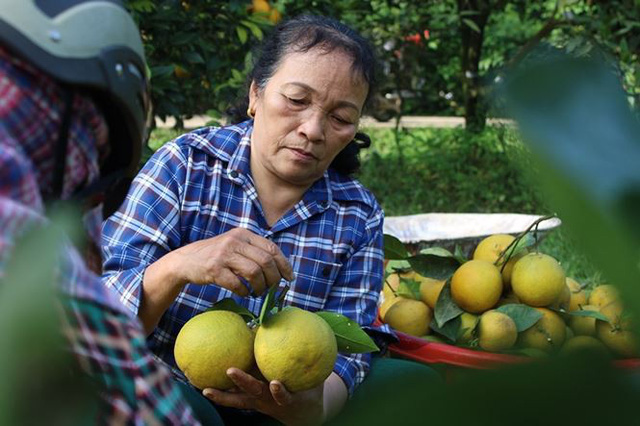 Những rừng cam thu tiền tỷ mỗi dịp Tết ở Hà Tĩnh - Ảnh 11.