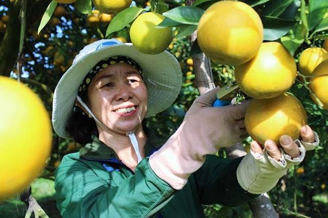 Những rừng cam thu tiền tỷ mỗi dịp Tết ở Hà Tĩnh - Ảnh 12.