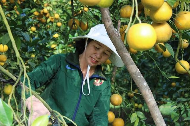 Những rừng cam thu tiền tỷ mỗi dịp Tết ở Hà Tĩnh - Ảnh 15.