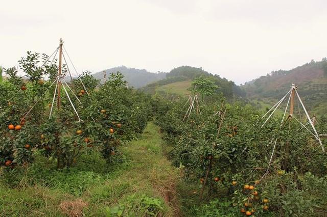 Những rừng cam thu tiền tỷ mỗi dịp Tết ở Hà Tĩnh - Ảnh 3.