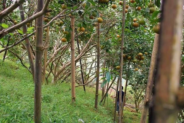 Những rừng cam thu tiền tỷ mỗi dịp Tết ở Hà Tĩnh - Ảnh 5.