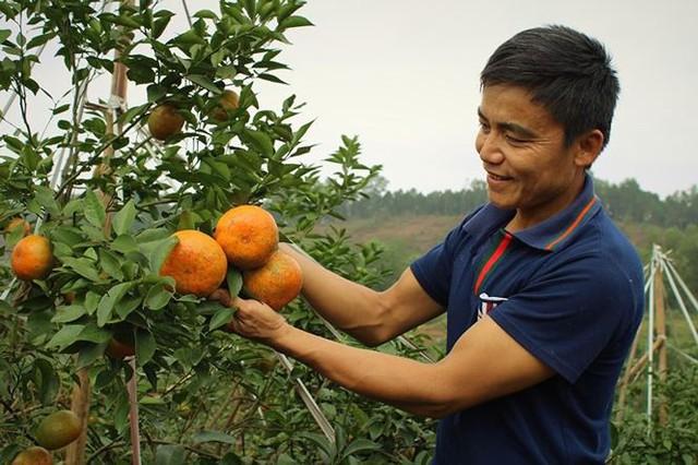 Những rừng cam thu tiền tỷ mỗi dịp Tết ở Hà Tĩnh - Ảnh 6.