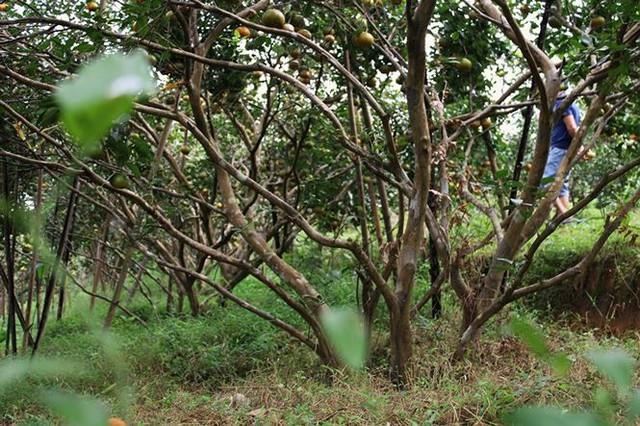 Những rừng cam thu tiền tỷ mỗi dịp Tết ở Hà Tĩnh - Ảnh 9.