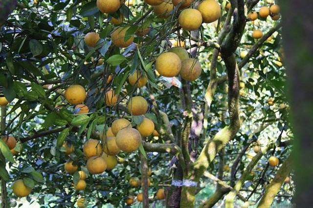 Những rừng cam thu tiền tỷ mỗi dịp Tết ở Hà Tĩnh - Ảnh 10.