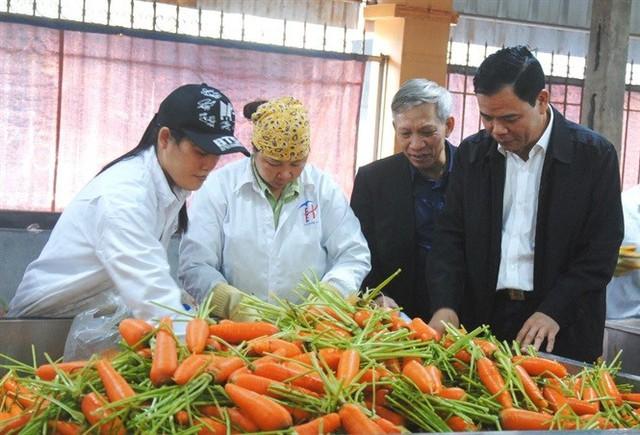 Hỗ trợ nông dân Hải Dương thoát cảnh cà rốt được mùa mất giá - Ảnh 1.