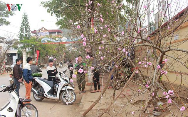Nhộn nhịp bán mua đào rừng đón Tết ở Sơn La - Ảnh 1.