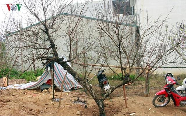 Nhộn nhịp bán mua đào rừng đón Tết ở Sơn La - Ảnh 12.