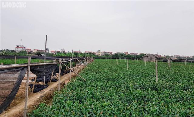Xuất hiện làng hoa Tây Tựu thứ hai gần Hà Nội - Ảnh 3.