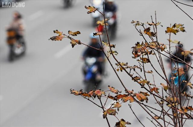 Phong lá đỏ Hà Nội: Chưa kịp đỏ, lá phong đua nhau ngả... đen - Ảnh 11.