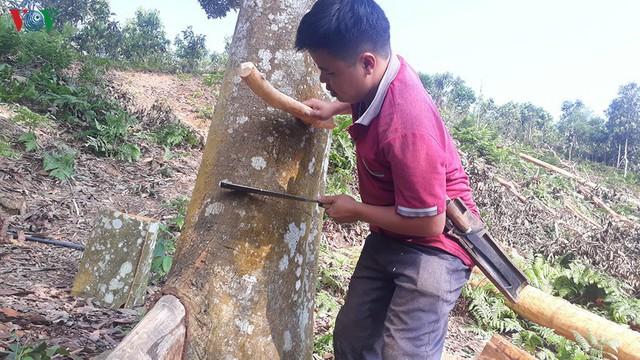 Hình ảnh: Người dân Yên Bái thu nhập hàng trăm tỷ đồng từ Quế - Ảnh 8.
