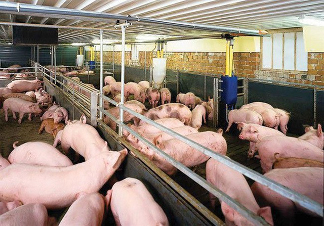 Giá thịt lợn hơi đắt kỷ lục, chạm mốc 70.000 đồng/kg - Ảnh 1.