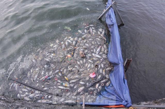 Xuất hiện nhiều cá chết ngoài khu thí điểm thả cá Koi ở Hồ Tây, sông Tô Lịch - Ảnh 2.