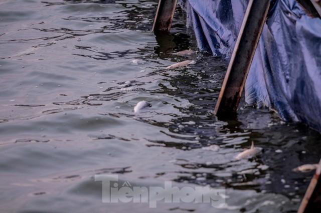 Xuất hiện nhiều cá chết ngoài khu thí điểm thả cá Koi ở Hồ Tây, sông Tô Lịch - Ảnh 5.