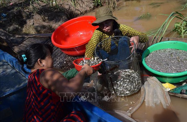 Ngón nghề nuôi nhử cá đồng mùa nước nổi - Ảnh 1.