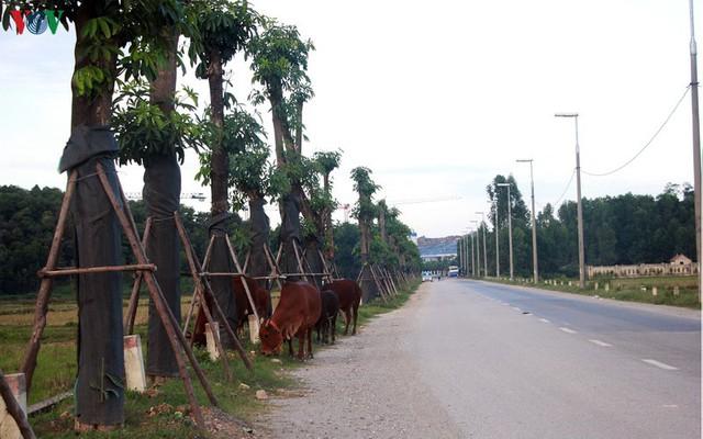Ảnh: Hoa sữa đánh chuyển từ Hồ Tây bắt đầu tỏa hương cạnh bãi rác Nam Sơn - Ảnh 1.