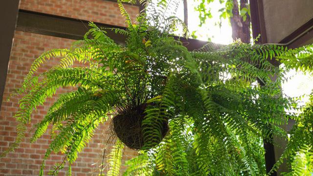 Muốn nhà sạch sẽ, trong lành lại may mắn, phát tài đừng bỏ qua các loại cây phong thủy sau - Ảnh 1.