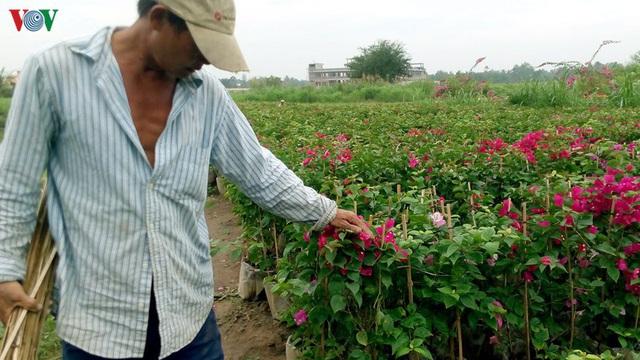 Nông dân Trà Vinh chuẩn bị hơn 300.000 chậu hoa phục vụ Tết - Ảnh 1.