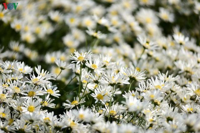 Cúc hoạ mi hút khách đến vườn hoa Nhật Tân  - Ảnh 5.