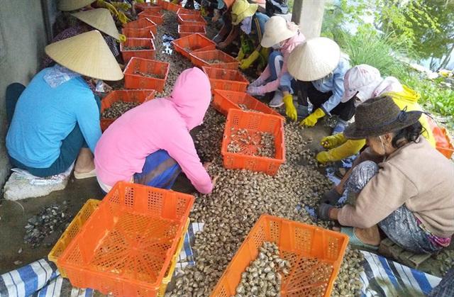 Thương lái săn ốc hương xuất sang Trung Quốc - Ảnh 1.