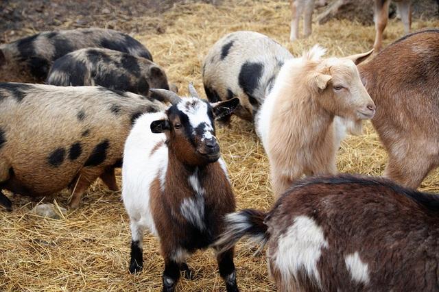 Hàng xóm thường xuyên quên không nhốt chó, người chăn dê làm 1 việc khiến đối phương lập tức thay đổi thói quen - Ảnh 1.