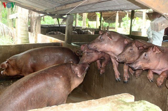Giá lợn tăng mạnh, hộ nuôi chưa dám tái đàn - Ảnh 1.