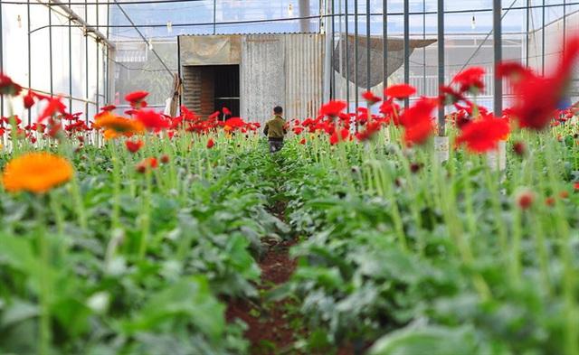 Nông dân Đà Lạt thu hàng trăm triệu từ vườn hoa đồng tiền - Ảnh 11.