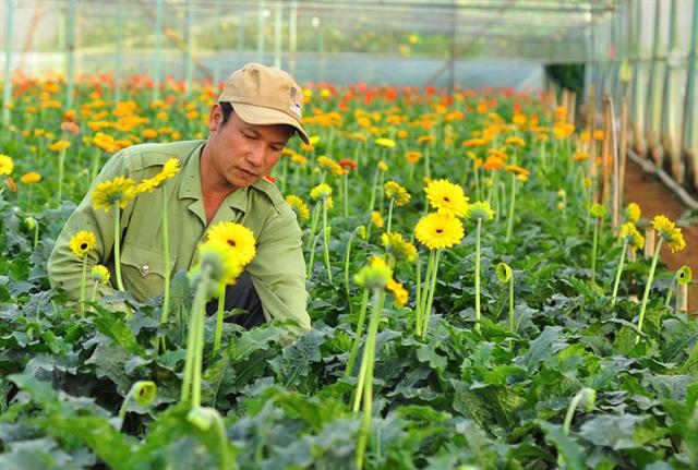 Nông dân Đà Lạt thu hàng trăm triệu từ vườn hoa đồng tiền - Ảnh 3.