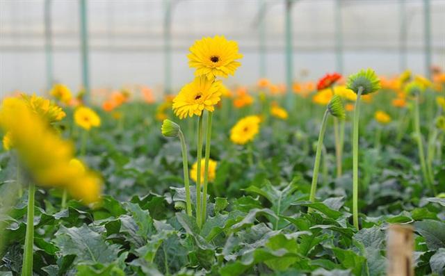 Nông dân Đà Lạt thu hàng trăm triệu từ vườn hoa đồng tiền - Ảnh 8.