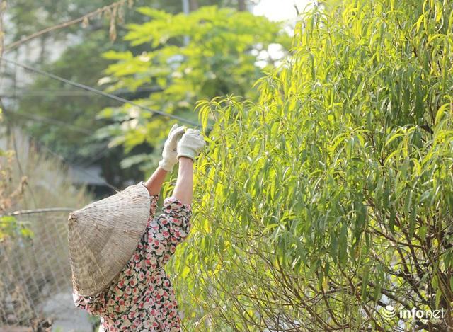 Đào Nhật Tân xuống phố sớm, nhiều tuyến đường Hà Nội đã rộn ràng sắc Xuân - Ảnh 8.