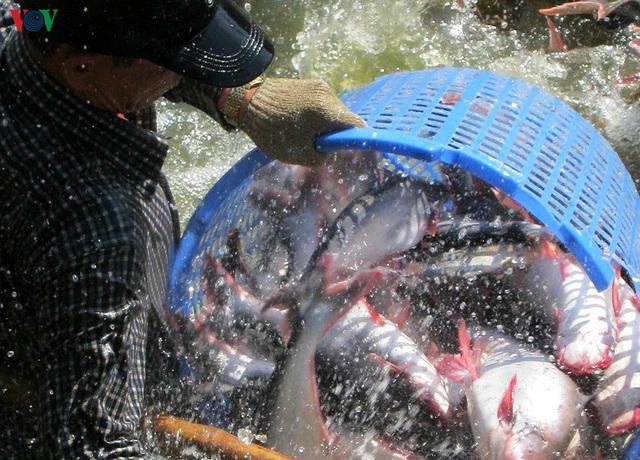 Nghề nuôi cá tra đang gặp khó khăn - Ảnh 1.