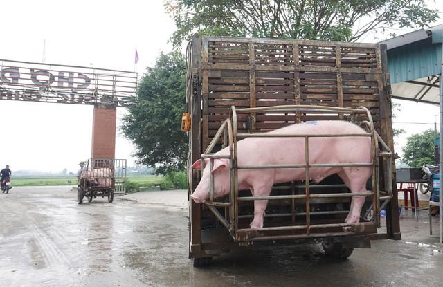 Tan hoang thủ phủ nuôi lợn miền Bắc sau dịch tả châu Phi - Ảnh 4.