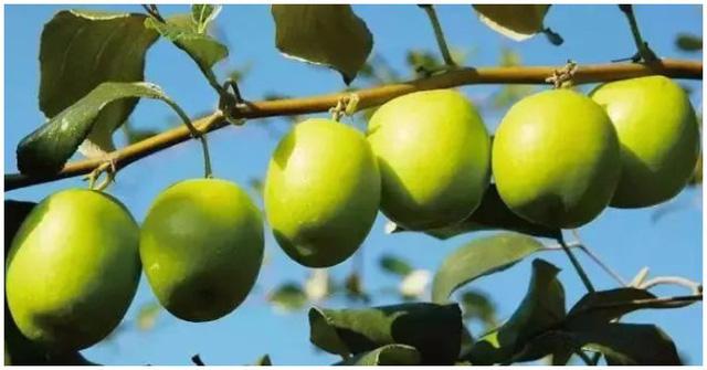 Loại quả giòn tan, nhiều vitamin gấp 10 lần cam, quýt này đang vào mùa: Hãy tranh thủ mua về ăn và tận dụng chữa vô số bệnh - Ảnh 4.