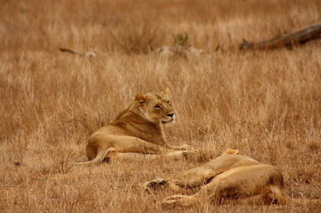 Gia đình sư tử: Câu chuyện dạy con đúng đắn đến ám ảnh của người Do Thái, bất kỳ bậc cha mẹ nào cũng nên ghi nhớ - Ảnh 2.