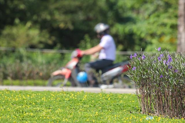 Cận cảnh hàng cây hoa sữa đang độ nở trên con đường mới mở của Thủ đô - Ảnh 11.