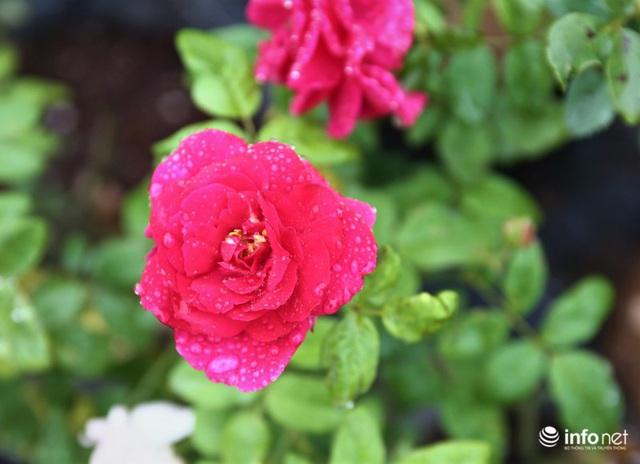 Chàng thanh niên 30 tuổi trồng trại hoa hồng thu hàng trăm triệu mỗi năm - Ảnh 7.