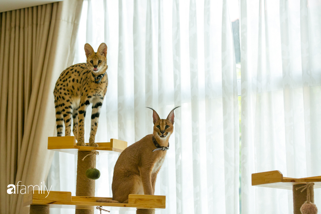 Trang Hà - Cô gái mang những chú mèo trị giá hàng tỷ đồng về Việt Nam và tiết lộ trào lưu nuôi thú cưng mới của giới đại gia và siêu giàu tại Sài Gòn - Ảnh 20.