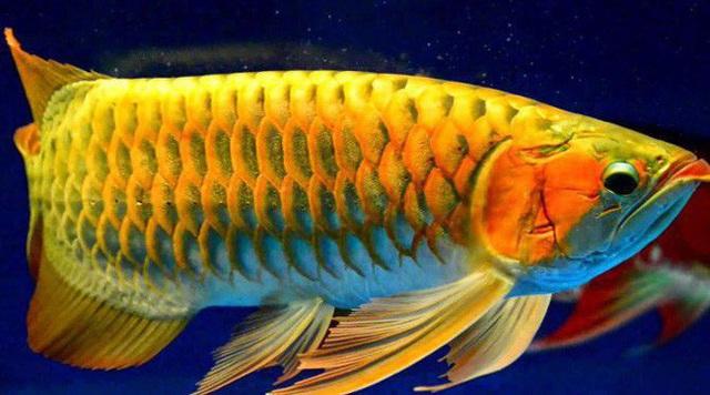 Lịch sử thú chơi cá rồng: Từ món ăn của người lao động đến linh vật tiền tỉ được các gia đình giàu có ưa chuộng - Ảnh 5.