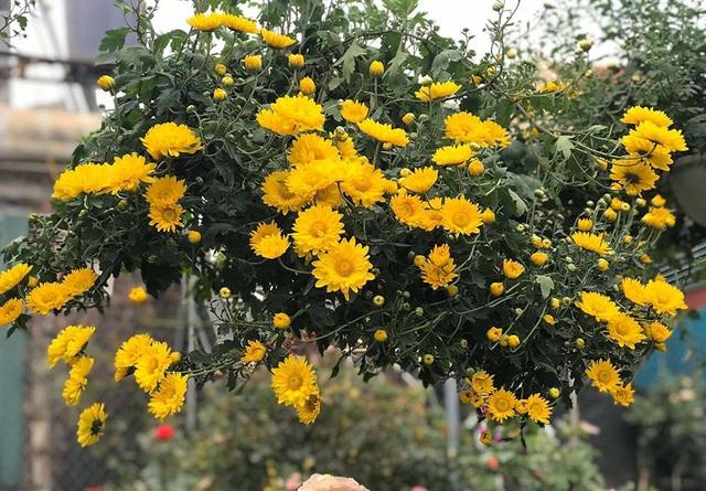 Hoa cúc dài 2 mét, hàng vạn bông rực vàng phủ kín 4 tầng nhà - Ảnh 1.