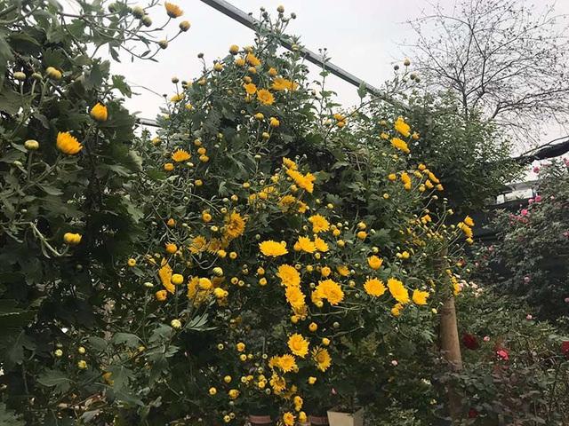 Hoa cúc dài 2 mét, hàng vạn bông rực vàng phủ kín 4 tầng nhà - Ảnh 2.